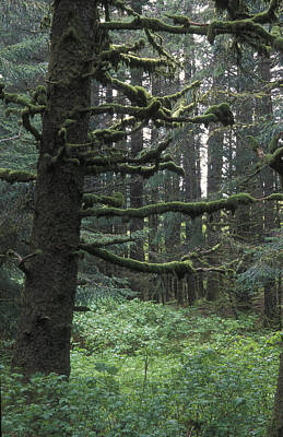 Sitka Spruce Forest At Fort Abercrombie Print by Rich Reid