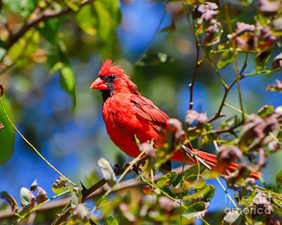 Red Photograph - Sitting Pretty - Male Cardinal by Kerri Farley