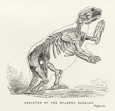 Sloth Drawing - Skeleton Of Mylodon Darwinii From The by Vintage Design Pics