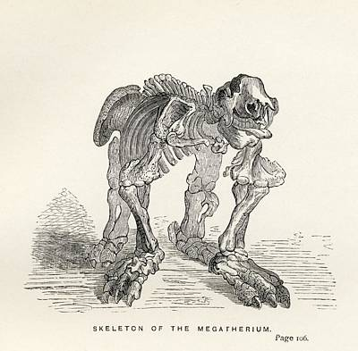 Sloth Drawing - Skeleton Of The Megatherium From The by Vintage Design Pics