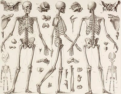 Skeletons Print by English School