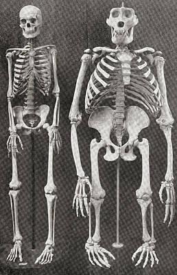 Gorilla Drawing - Skeletons Of Man, Left, And Gorilla by Vintage Design Pics