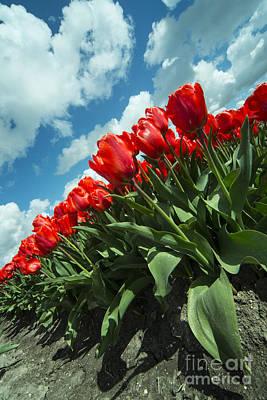 Tulpe Photograph - Sky Tulips  by Rob Hawkins