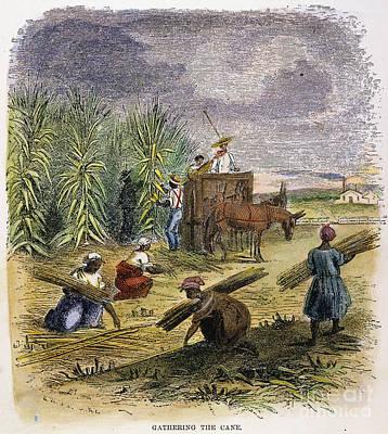 Slaves Gathering Sugar Cane Print by Granger