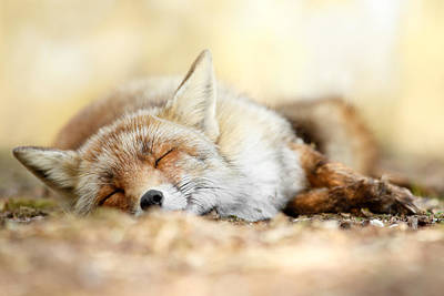 Sleeping Beauty -red Fox In Rest Print by Roeselien Raimond