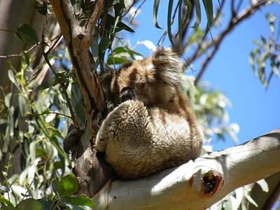 Koala Photograph - Sleeping Koala by Viktor Milenkov