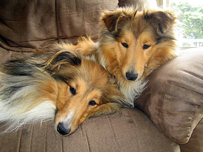 Miniature Collie Photograph - Sleeping Shelties by Sheltie Planet