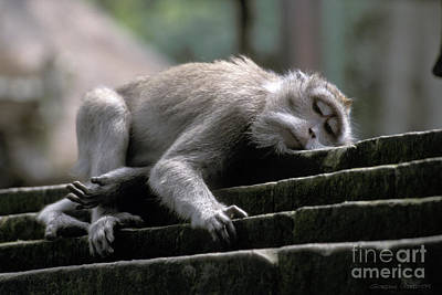 Sleepy Monkey In Monkey Forest Ubud Bali Print by Gordon Wood