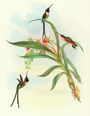 Hummingbird Drawing - Slender Shear Tail by David Gould