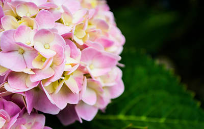 Hydrangea Photograph - Small Details by Shelby  Young