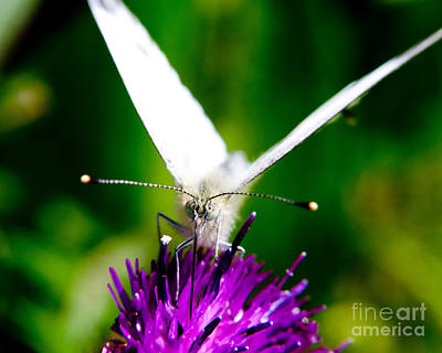 Cabbage White Butterfly Photograph - Small  White Cabbage Butterfly Pieris Rapae by Chris Smith