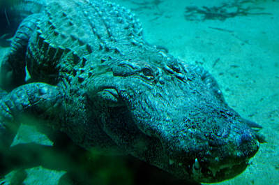 Aligator Photograph - Smile Pretty Now by Donna Blackhall