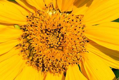 Smiling Sunflower Print by Amanda Kiplinger