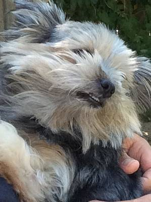 Warm Fuzzy Puppy Photograph - Smiling Yorky by Bill Also