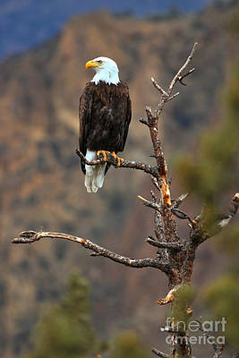 State Parks In Oregon Photograph - Smith Rock Bald Eagle by Adam Jewell