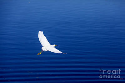 Egret Photograph - Smooth Sailing by David Millenheft