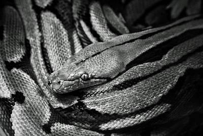 Snake Print by Fine Arts