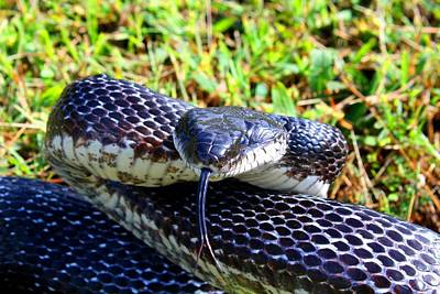 Wild Racers Photograph - Snakey Lick by Kathryn Meyer