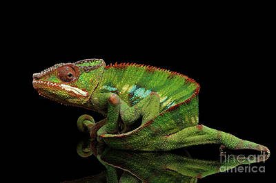 Sneaking Panther Chameleon, Reptile With Colorful Body On Black Mirror, Isolated Background Print by Sergey Taran