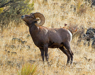 Bighorn Ram Photograph - Sniffing The Wind by Mike Dawson