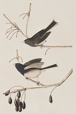 Berry Drawing - Snow Bird by John James Audubon