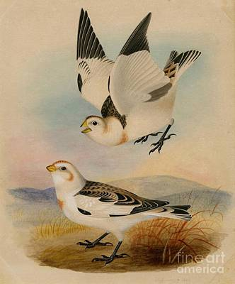 Bunting Painting - Snow Bunting by Celestial Images