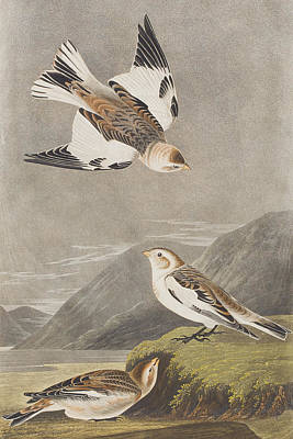 Snow Bunting Print by John James Audubon