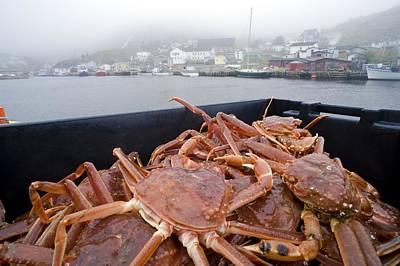 Maddox Photograph - Snow Crabs, Canada by David Nunuk