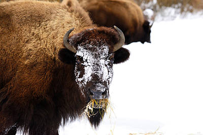 Bison Photograph - Snow Face by Greg Norrell