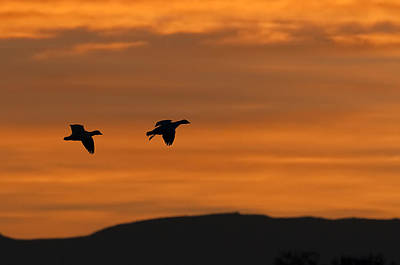 Snow Geese - Bosque Del Apache Print by Shara Lee