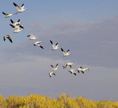 Snow Geese In Flight Original by Elvira Butler
