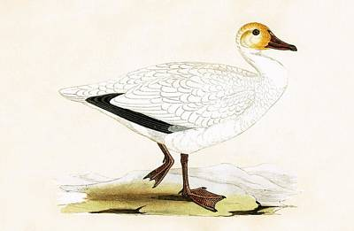 Geese Drawing - Snow Goose by English School