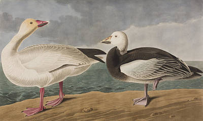 Geese Drawing - Snow Goose by John James Audubon