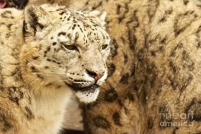Snow Leopard  Print by Gary Bridger