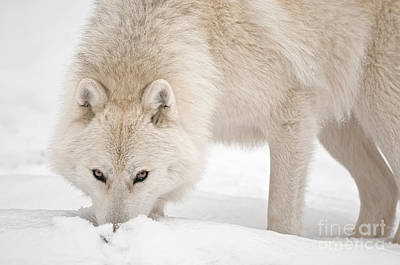 Black. Arctic Wolf Photograph - Snow Nose by Michael Cummings