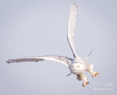 Birds Photograph - Snowy Owl Flying Dirty by Ricky L Jones