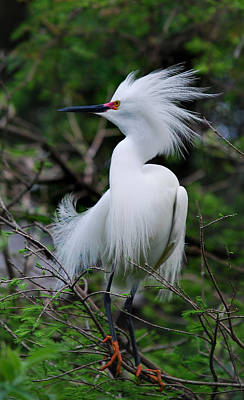 Of Birds Photograph - Snowy Attitude by Skip Willits
