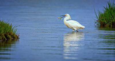 Snowy Egret At Dinner Print by Rick Berk