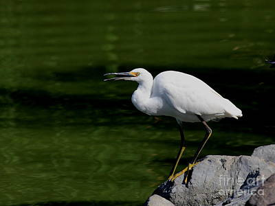 Bif Photograph - Snowy Egret Barking by Wingsdomain Art and Photography