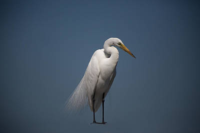 Perch Photograph - Snowy Egret by J Darrell Hutto