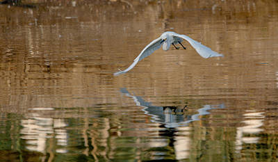Frenzy Photograph - Snowy Egret In Flight Over The Golden Lake by Roy Williams
