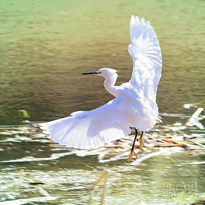 Florida Pond Photograph - Snowy Egret Over Golden Pond by Carol Groenen