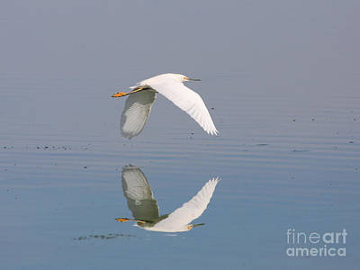 Egrets Photograph - Snowy Egret Reflections by Wingsdomain Art and Photography