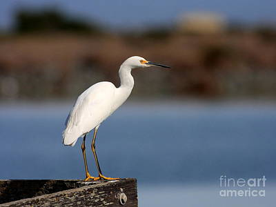 Bif Photograph - Snowy Egret Waiting by Wingsdomain Art and Photography