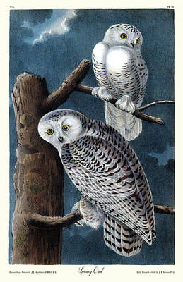 Snowy Owl Audubon Birds Of America 1st Edition 1840 Royal Octavo Plate 28 Print by John Audubon