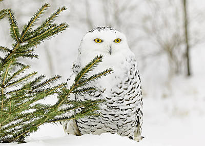 Owl Photograph - Snowy Owl In The Snow by LeeAnn McLaneGoetz McLaneGoetzStudioLLCcom