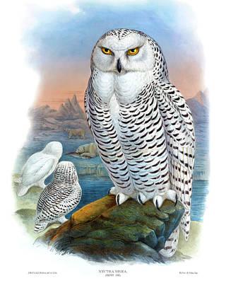 Snowy Owl Antique Bird Print Joseph Wolf  Hc Richter Birds Of Great Britain Print by Joseph Wolf  HC Richter