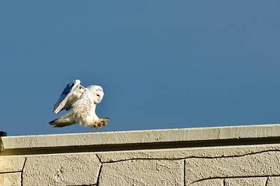 Snowy Owl Landing Print by Randall Branham