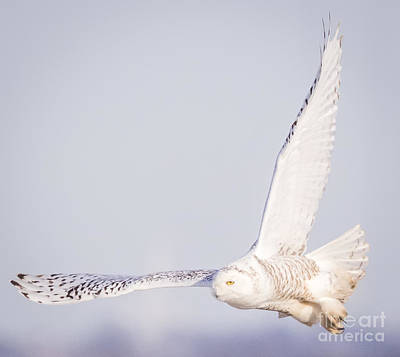 Wildlife Photograph - Snowy Owl On The Lookout  by Ricky L Jones