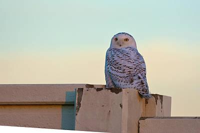 Snowy Owl Print by Randall Branham